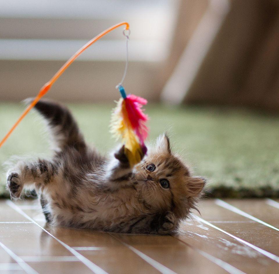 gatto gioca